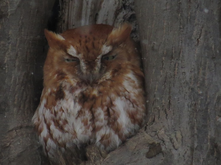 Red morph Eastern Screech Owl in Burlington, ON