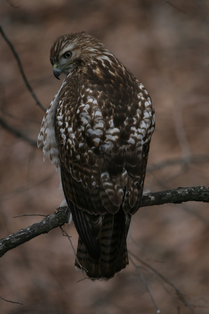 Red-tailed Hawk on branch at High Park in Toronto, On
