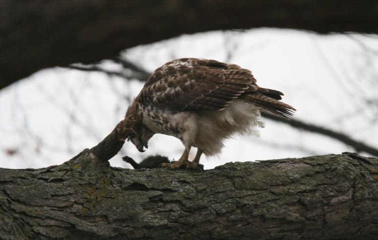 Red-Tailed Hawk consuming squirrel at High Park in Toronto, On