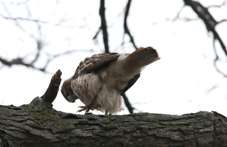 Red-Tailed Hawk eating squirrel at High Park in Toronto, On