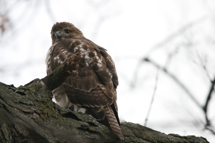 Red-Tailed Hawk eats squirrel at High Park in Toronto, On