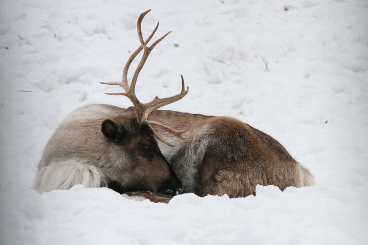 Reindeer at High Park Zoo in Toronto, On
