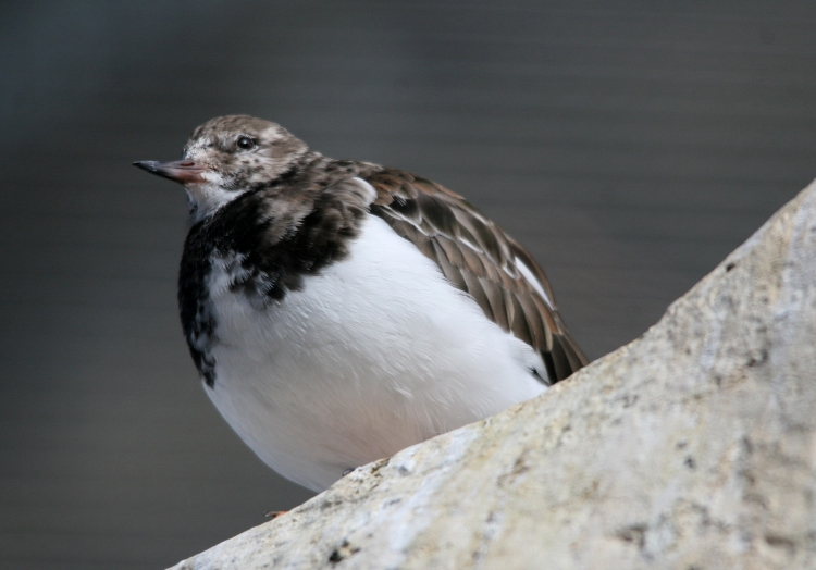 Ruddy Turnstone at the Biodome in Montreal, Quebec