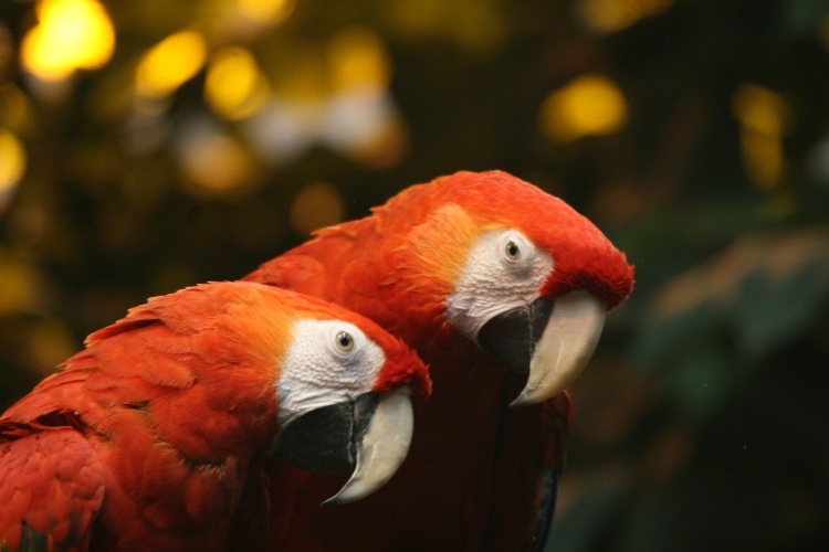 Scarlet Macaws at the Biodome in Montreal, Quebec