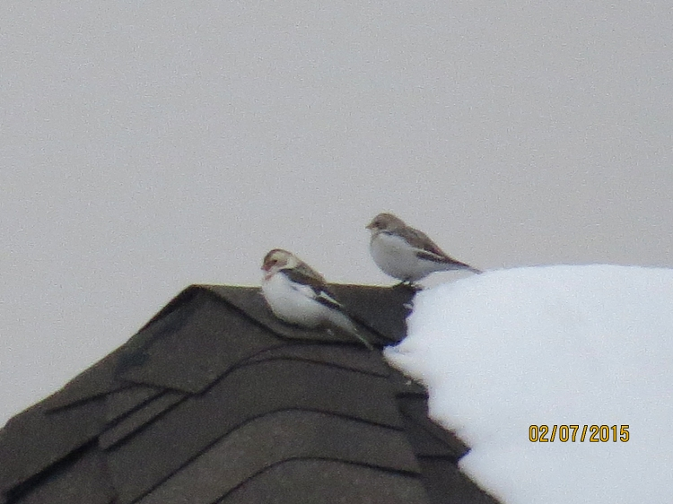 Snow Buntings on roof in Stoney Creek, ON