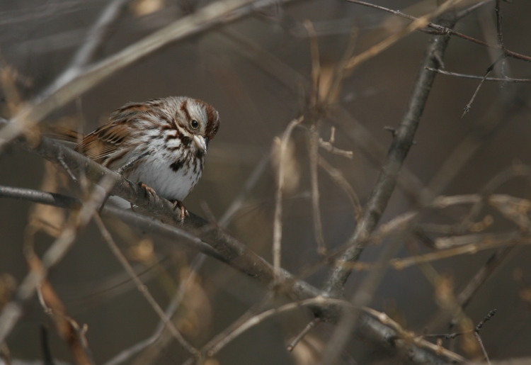 Song Sparrow at High Park in Toronto, On