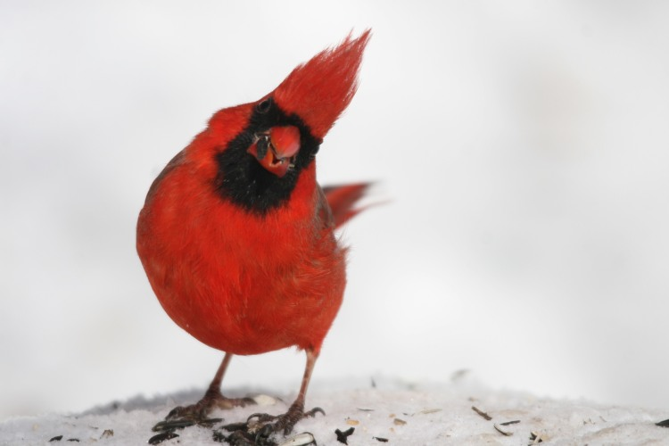 Male Northern Cardinal at High Park in Toronto, On