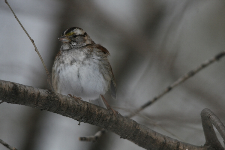 White-throated Sparrow at High Park in Toronto, On