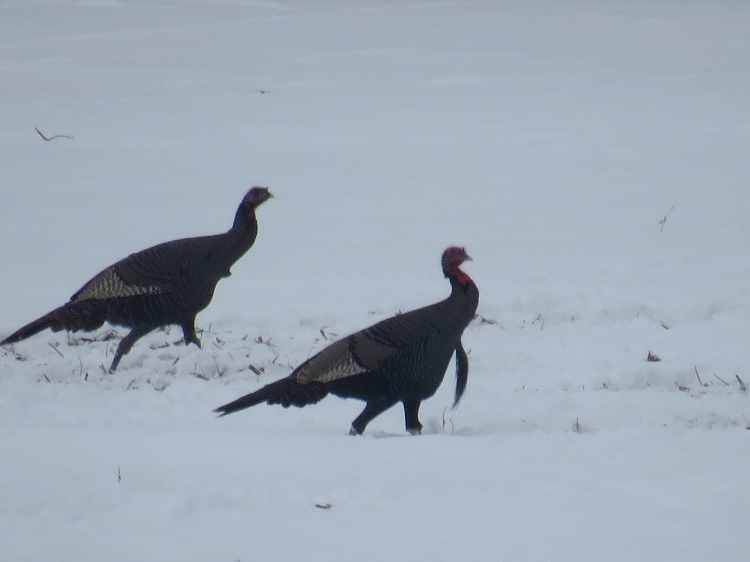 Wild Turkeys in Stoney Creek, ON