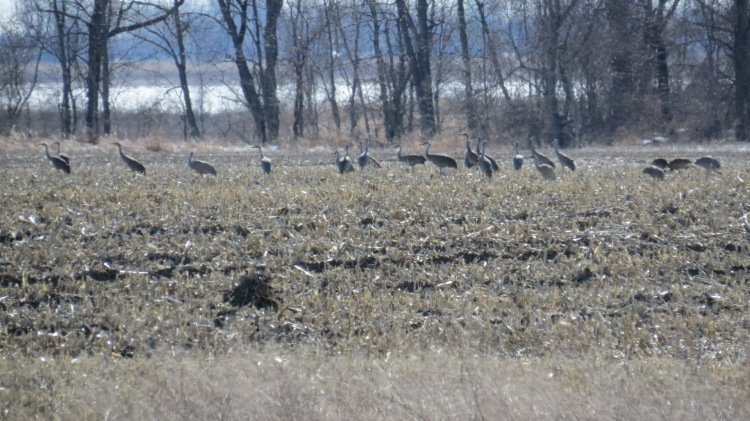23 Sandhill Cranes, Long Point, Ontario