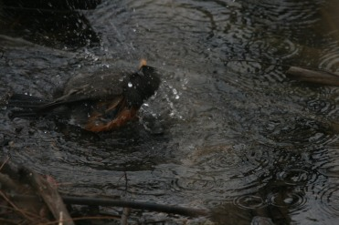 American Robin bathing at Colonel Sam Smith Park in Toronto, ON