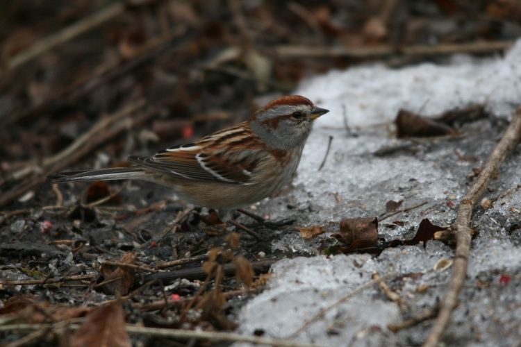 American Tree Sparrow at Humber Bay Park East in Toronto, ON