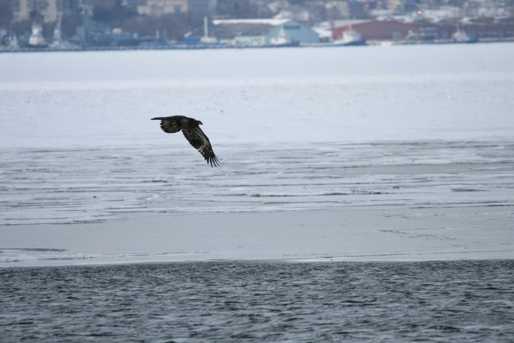 Another look at a Bald Eagle at the Lift Bridge in Burlington, Ontario