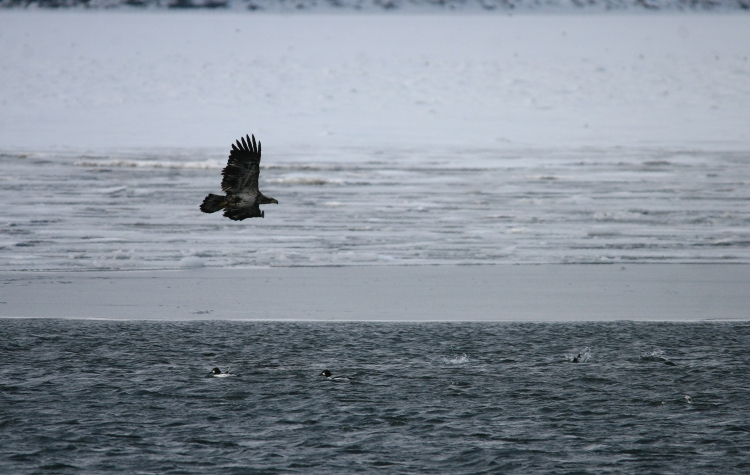 Bald Eagle enjoying flight near Lift Bridge Canal, Burlington, Ontario