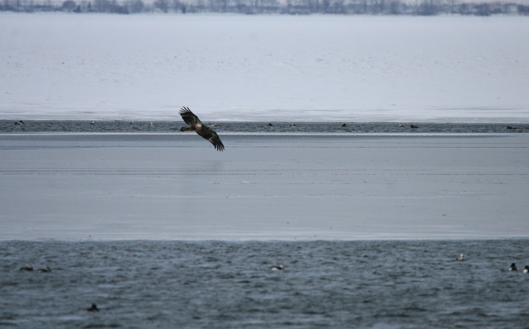 Bald Eagle in flight near Lift Bridge Canal, Burlington, Ontario