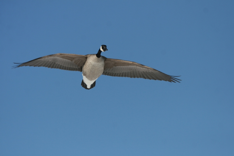 Canada Goose flying at the lake behind the waterfront hotel in Burlington, ON
