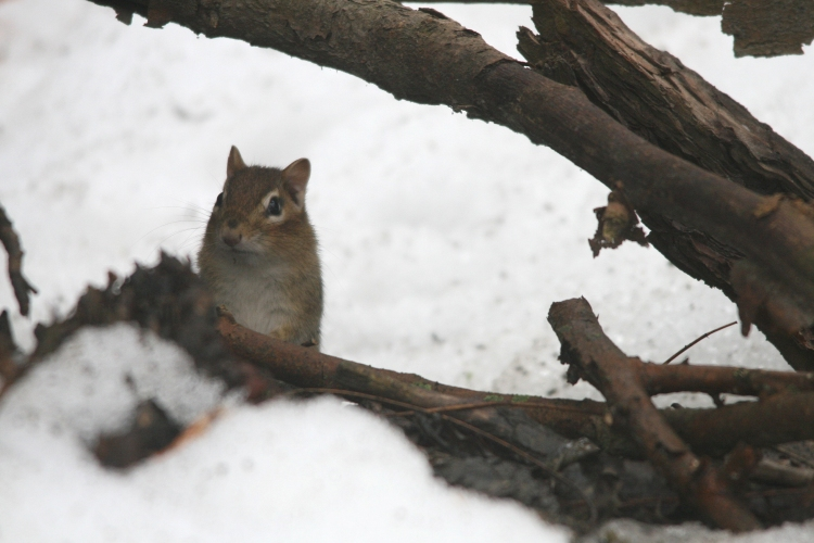 Eastern Chipmunk at High Park in Toronto, ON
