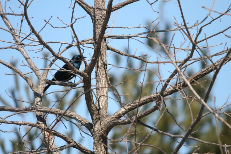 Common Grackle at Bird Studies Canada, Long Point, Ontario