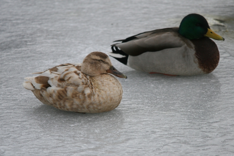 Domesticated Mallard (left) and Mallard Ducks at Lift Bridge Canal, Burlington, Ontario