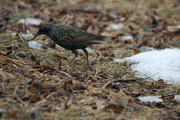 European Starling foraging at Humber Bay Park East in Toronto, ON