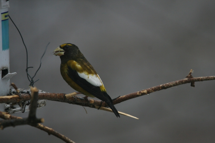 Evening Grosbeak eating sunflower seed at High Park in Toronto, ON