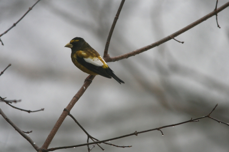 Evening Grosbeak eating at High Park in Toronto, ON