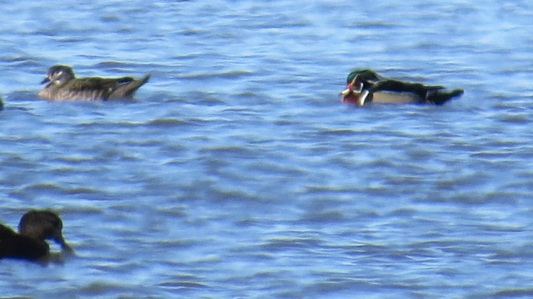 Female and male Wood Ducks at Long Point