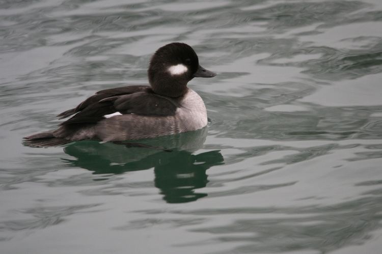 Female Bufflehead at Humber Bay Park East in Toronto, ON