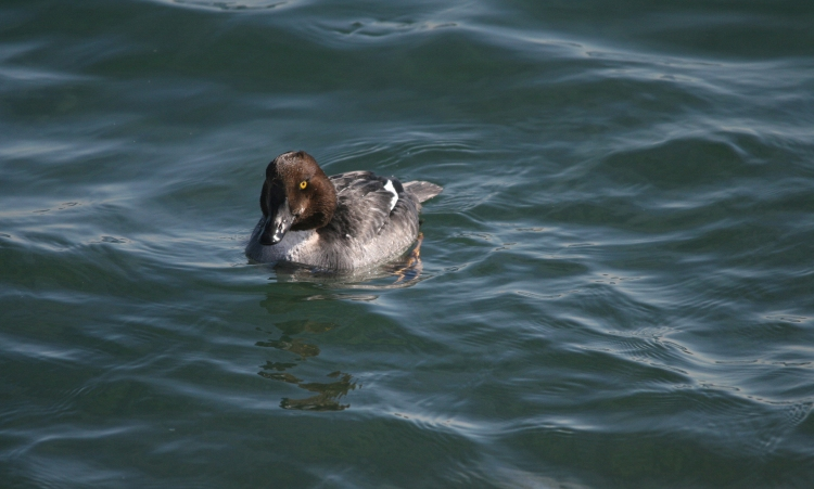 Female Common Goldeneye flattened head at the lake behind the waterfront hotel in Burlington, ON