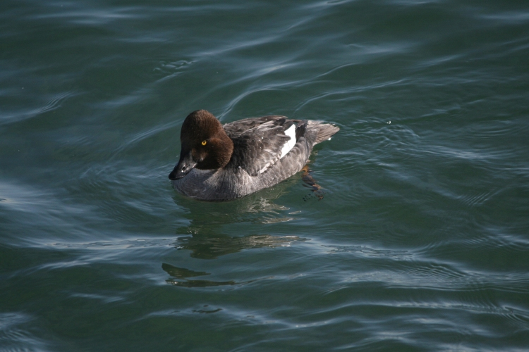 Female Common Goldeneye at the lake behind the waterfront hotel in Burlington, ON