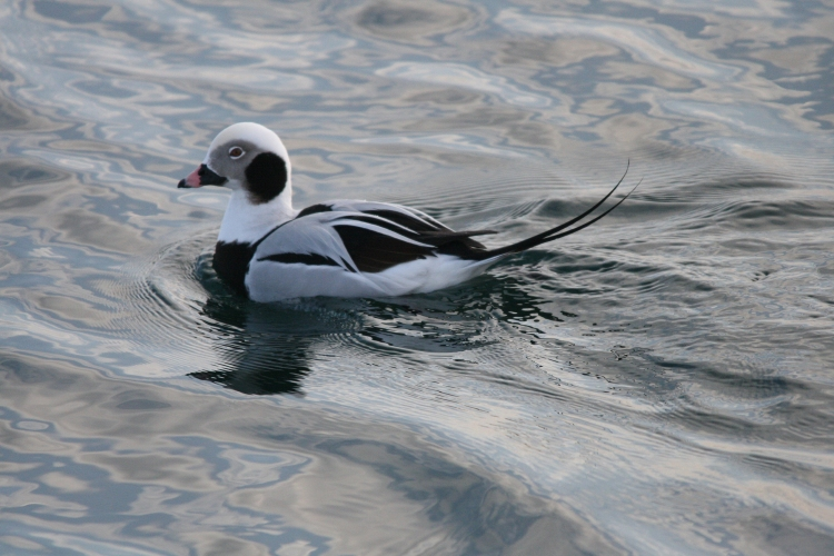 Male Long-tailed Duck at Lift Bridge Canal, Burlington, Ontario