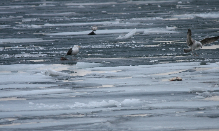 Greater Black-backed Gulls and prey, Lift Bridge Canal, Burlington, ON