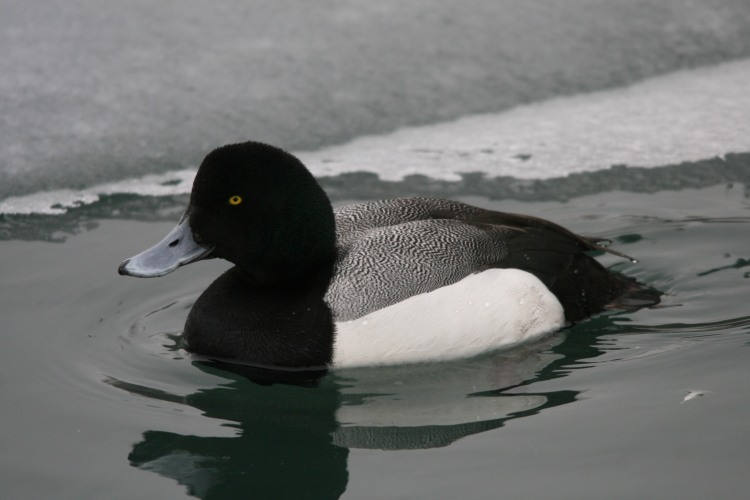 Male Greater Scaup at Humber Bay Park East in Toronto, ON