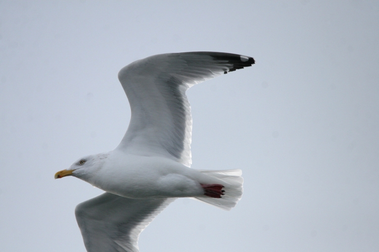 Herring Gull flies by real close at Lift Bridge Canal, Burlington, Ontario
