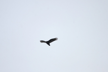 Turkey Vulture, Beamer Memorial Conservation Area, Grimsby, Ontario