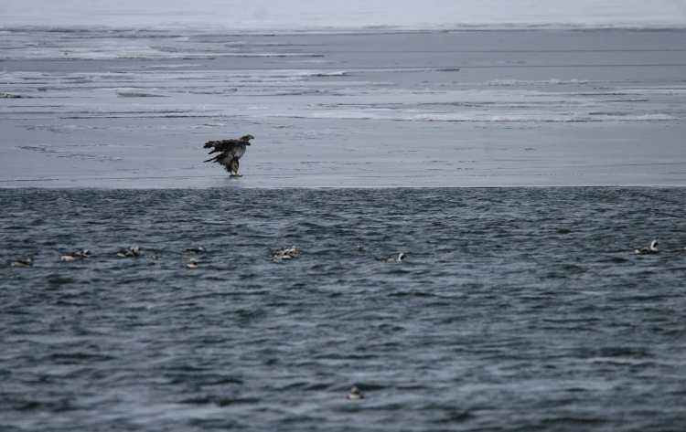 Juvenile Bald Eagle on the ice near Lift Bridge Canal, Burlington, Ontario