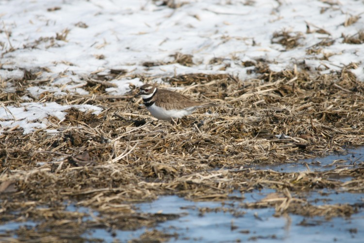 Killdeer, Long Point, Ontario