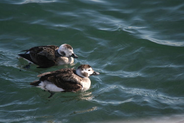 Long-Tailed Ducks at the lake behind the waterfront hotel in Burlington, ON