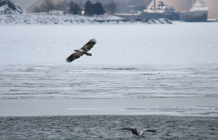 Magnificent Bald Eagle near Lift Bridge Canal, Burlington, Ontario