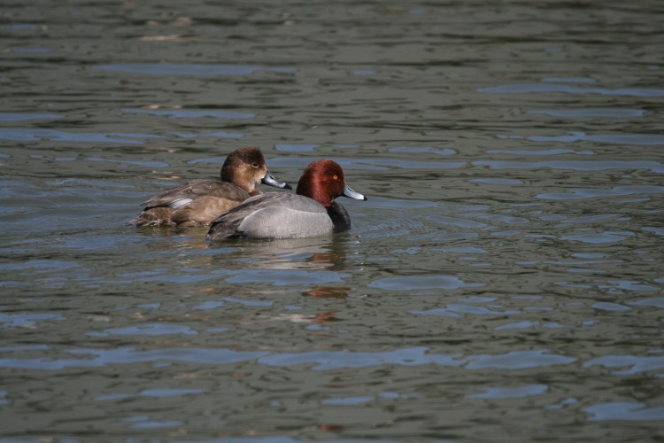 Male and female Redhead ducks, Port Rowan Harbour