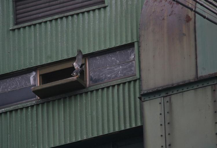 Mating Peregrine Falcons, Lift Bridge, Burlington, Ontario