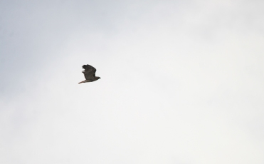 Migrating Red-tailed Hawk, Beamer Memorial Conservation Area, Grimsby, Ontario