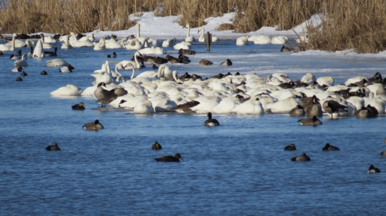 Mix of waterfowl, Long Point, Ontarion