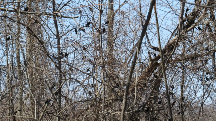 Mixed flock of Brown-headed Cowbirds, Red-winged Blackbirds and Common Grackles, at Long Point