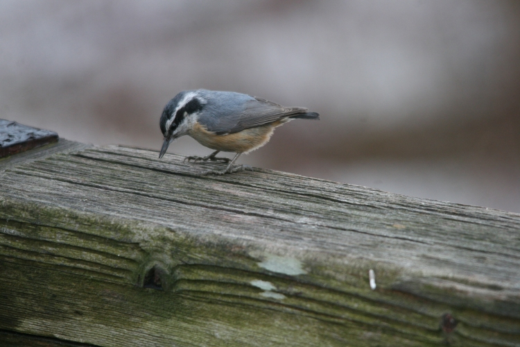 Red-breasted Nuthatch at Humber Bay Park East in Toronto, ON
