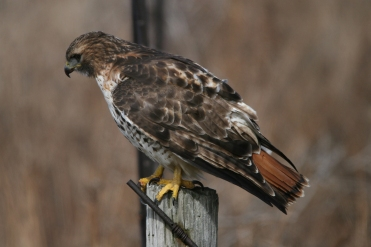 Red-Tailed Hawk, Grimsby, Ontario