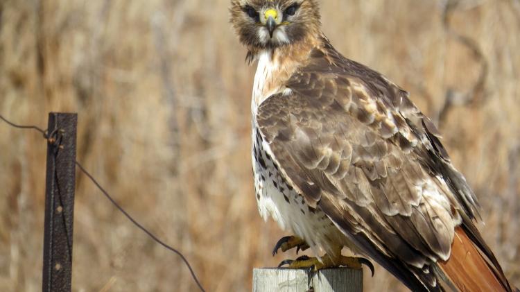 Red-Tailed Hawk's piercing eyes in Grimbsy, ON