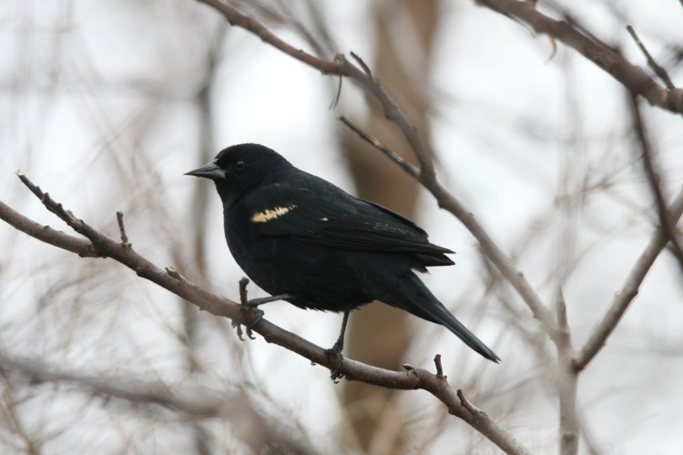 Red-Winged Blackbird at Humber Bay Park East in Toronto, ON