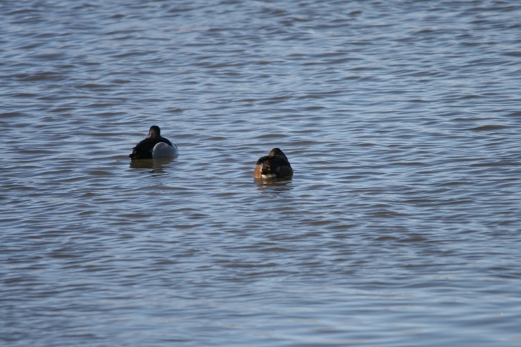 Ring-necked Ducks, Long Point, Ontario