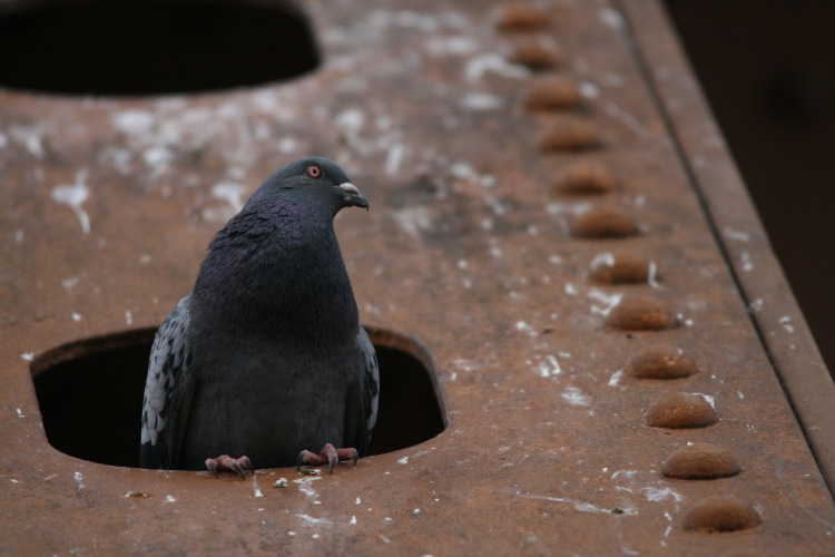 Rock Pigeon hiding from Peregrine Falcons on Lift Bridge